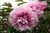Enjoy our flowwer gardens such as the Peony Rose tree